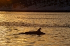 Click to see details of Killer whale or orca (Orcinus orca)