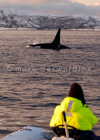Whale watching with killer whale or orca (Orcinus orca)