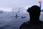 Click to see details of Whale watching with killer whale or orca (Orcinus orca) - snorke