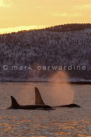 Killer whales or orcas (Orcinus orca)