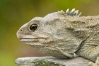 Click to see details of Cook Strait tuatara (Spenodon punctatus) - male