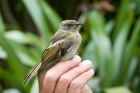 Click to see details of Stitchbird or hihi (Notiomystis cincta) - juvenile