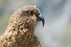 Click to see details of Kea (Nestor notabilis)