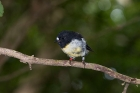 Click to see details of Tomtit (Petroica macrocephala)