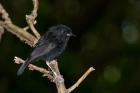 Click to see details of Chatham Island black robin (Petroica traversi)