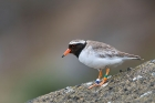 Click to see details of Chatham Island shore plover or tuturuatu (Thinornis novaeseeland
