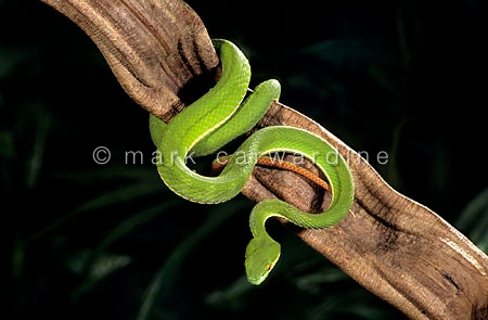 White-lipped tree viper (Trimeresurus albolabris)