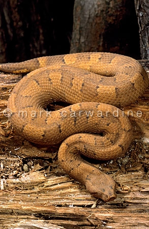Solomon Island ground boa (Candoia carinata paulsoni)