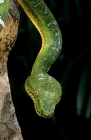 Click to see details of Emerald tree boa (Corallus caninus)