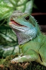Click to see details of Chinese water dragon (Physignathus cocincinus)