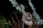 Click to see details of Boa constrictor (Boa constrictor)