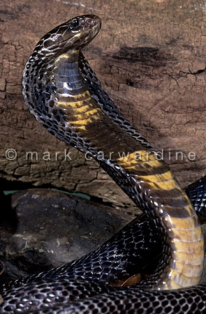 Black Pakistani cobra (Naja naja)