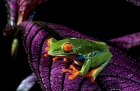 Click to see details of Red-eyed tree frog (Agalychnis callidryas