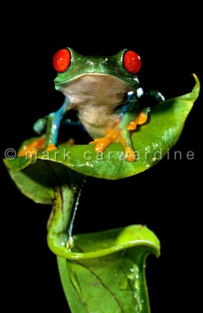 Red-eyed tree frog (Agalychnis callidryas