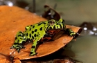 Click to see details of Oriental fire bellied toad {Bombina orientealis}