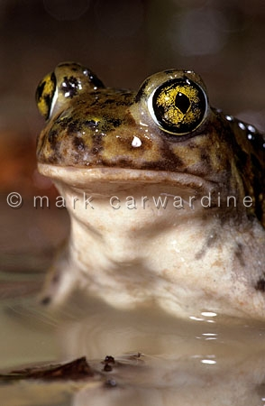 Couch's spadefoot toad, (Scaphiopus couchii)