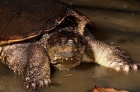 Click to see details of Common snapping turtle (Chelydra serpentina)