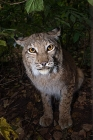 Click to see details of European lynx (Lynx lynx)