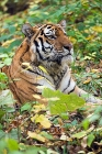 Click to see details of Siberian or Amur tiger (Panthera tigris altaica)