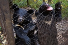 Click to see details of Asiatic black or Moon bear (Ursus thibetanus)