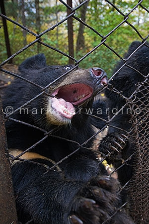 Asiatic black or Moon bear (Ursus thibetanus)
