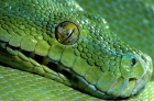 Click to see details of Green tree python (Morelia viridis)