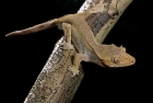 Click to see details of New Caledonia crested gecko (Rhacodactylus ciliatus)