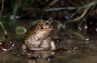 Click to see details of Couch's spadefoot toad (Scaphiopus couchii)