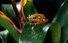 Click to see details of Reed frog (Hyperolius sp.)