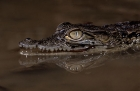 Click to see details of Nile crocodile (Crocodylus niloticus)