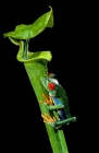 Click to see details of Red-eyed tree frog (Agalychnis callidryas)