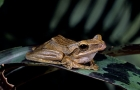Click to see details of Golden gliding frog (Rhacophorus leucomystax)