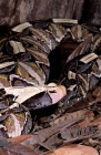 Click to see details of Gaboon viper (Bitis gabonica)
