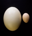 Click to see details of Ostrich egg with chicken egg for size comparison