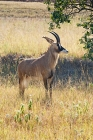 Click to see details of Roan antelope (Hippotragus equinus)