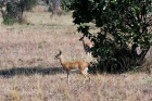 Click to see details of Oribi (Ourebia ourebi)