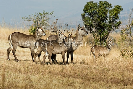 Common waterbuck (Kobus ellipsiprymnus)
