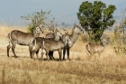Click to see details of Common waterbuck (Kobus ellipsiprymnus)