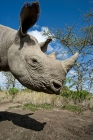 Click to see details of Black rhinoceros (Diceros bicornis)