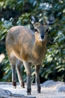 Click to see details of Klipspringer (Oreotragus oreotragus)