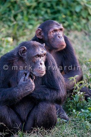 Chimpanzees (Pan troglodytes)