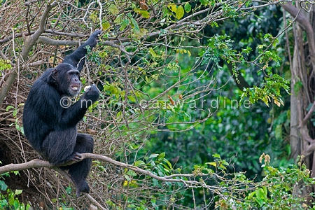 Chimpanzee (Pan troglodytes) in a tree