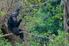 Click to see details of Chimpanzee (Pan troglodytes) in a tree