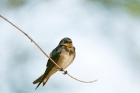 Click to see details of European or barn swallow (Hirundo rustica) - juvenile