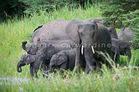 African elephants (Loxodonta africana) - herd on riverbank
