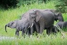 Click to see details of African elephants (Loxodonta africana) - herd on riverbank