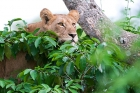 Click to see details of African lion (Panthera leo) - tree-climbing