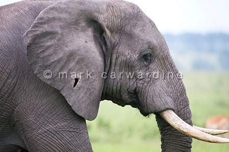 African elephant (Loxodonta africana) showing wound in ear