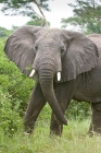 Click to see details of African elephant (Loxodonta africana)