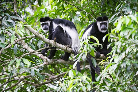 Black and white colobus monkeys (Colobus guereza)